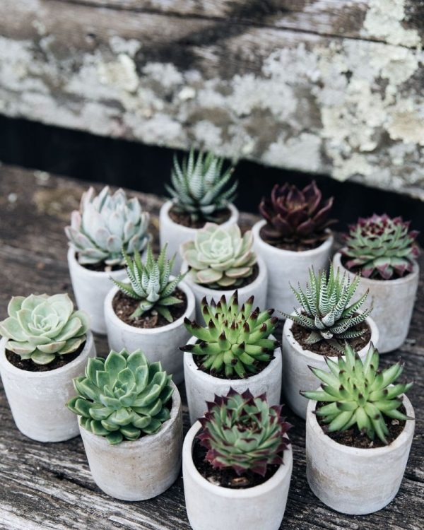 Potted succulents from Jonima Flower Farm