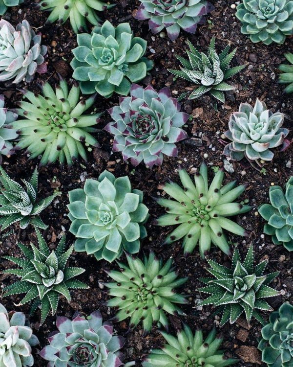 Locally grown succulents
